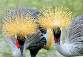 Beautiful Of Couple Crown Crane Birds Showing Their Golden Head Feathers