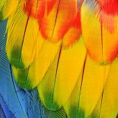 Close Up Of Beautiful Scarlet Macaw Wing Feathers In Great Detail Background