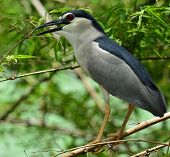 Full Body Length Of  Night Heron Bird Perching On The Bamboo Stick