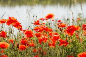 pic of box-end  - Budding and flowering Poppy or Papaver rhoeas plants with seed boxes at the edge of the water at the end of a sunny summer day - JPG
