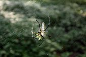 stock photo of black widow spider  - Hunting spider in its web. photo in forest