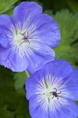image of geranium  - Blue Geranium flowers outside in the garden - JPG