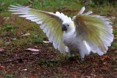 Sulphur crested cockatoo with wings spread.