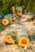 Felled trees/sawn logs in woodland