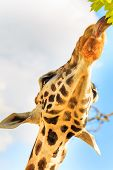 Tongue of a giraffe (Giraffa camelopardalis) reaches out to grab some leaves from a tree.