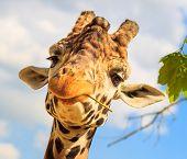Giraffe (Giraffa camelopardalis) chewing a twig.