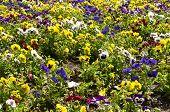 abundance of pansies