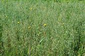 pic of monocots  - field of green oats with yellow flowers - JPG