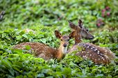Cute fawn resting with mother in forest