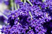 Macro Shot Of Lavender Flowers