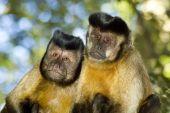 Capuchin Monkey Pair
