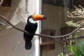 Poser Toucan