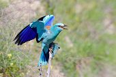 european roller (coracias garrulus) in natural habitat in spring