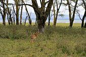 Afrikanskfy Gazelle Impala