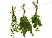 Celandine Herbs Nettle