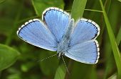 foto of adonis  - Male Adonis Blue Butterfly  - JPG