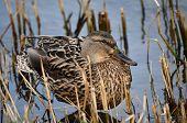 Mallard duck (Anas platyrhynchos) - female