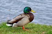 Mallard duck (Anas platyrhynchos) - male