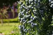 Cedar Cypress Leyland With Blue Pine Cones