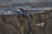 Male Stag Beetle  On An Oak Stump.