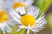 Mosquito On Daisy