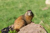 stock photo of groundhog  - a cute yellow bellied marmot on a rock - JPG