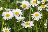 Close Up Image Of Wild Daisy Flowers In Wildflower Meadow Landscape
