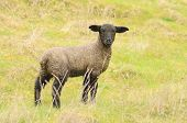image of spring lambs  - Oregon spring lambs in a ranch pasture