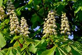 Chestnut Blossoms (castanea)