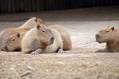 Capybaras Lying And Resting