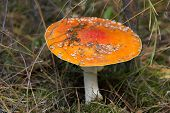 Fly agaric mushroom closeup