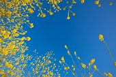 Mustard flower blooms rising into the blue sky