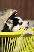 Siberian Husky In Yellow Basket