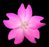 Pink Wildflower Isolated On Black Background