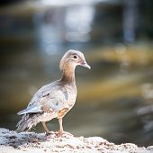 pic of boggy  - Female Duck standing on the rock near the river - JPG