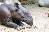 stock photo of tapir  - close up of Tapir on the ground - JPG