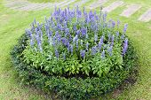 foto of clary  - group of blooming violet salvia flower in the garden - JPG