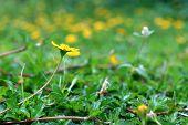 Wild Daisy Flower Growing In Green Meadow