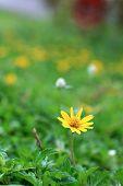 Wild Daisy Flower Growing On Green Meadow