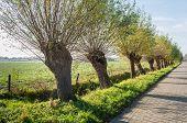 Row Of Pollard Willows In A Street