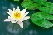 Beautiful Yellow Lotus Flower In Pond