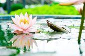 Beautiful Pink Lotus Flower In Pond