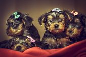 Yorkshire Terrier Dog Puppies
