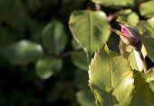 pic of rose bud  - Rose bud - JPG