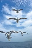 Seagulls in low flight over the sea near Thassos island