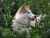 Alaskan Malamute walks in nature
