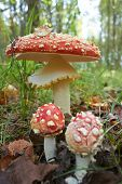 picture of toadstools  - spotted toadstools in the woods - JPG