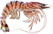 Tiger prawn. Editable vector illustration isolated on white background.