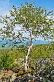 Birch on a mountain top