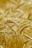 Bread ripe ears of grain on the field